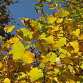 黄色い紅葉 IMG_5366