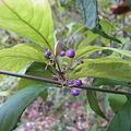 ムラサキシキブ(紫式部)の果実 IMG_5448