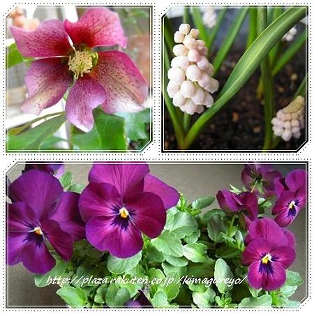 ベランダのお花・3月