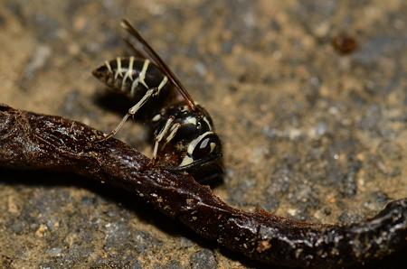 スズメバチ科 クロスズメバチ♀