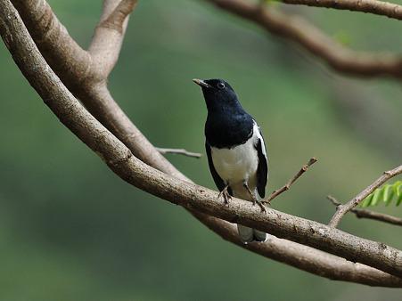 シキチョウ(Oriental Magpie Robin) DSC_3523_R