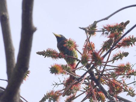 オオゴシキドリ(Great Barbet) P1240558_R2