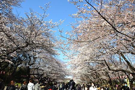 桜のトンネル@上野公園[4/4]