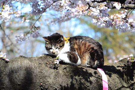 桜の木の上の猫@上野公園[4/4]