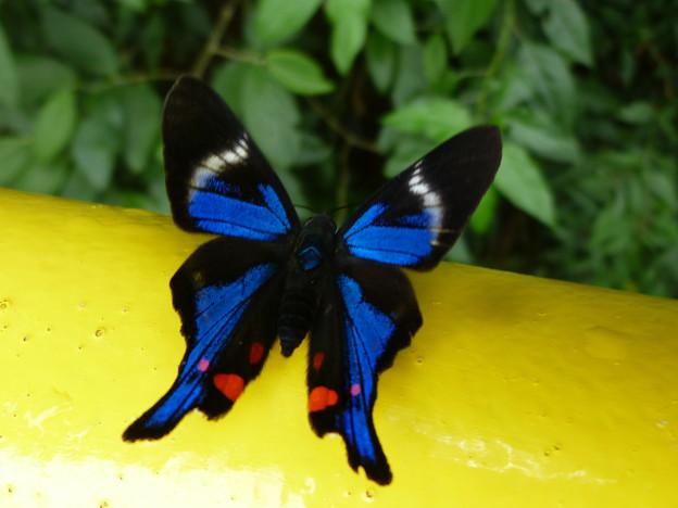 イグアスで出合った蝶