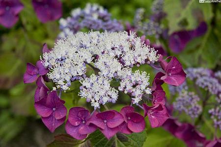 紫のティアラ