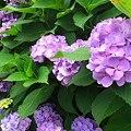 家の紫陽花ではなく、近所の歯医者の紫陽花