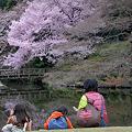 満開4月3日高遠コヒガン桜