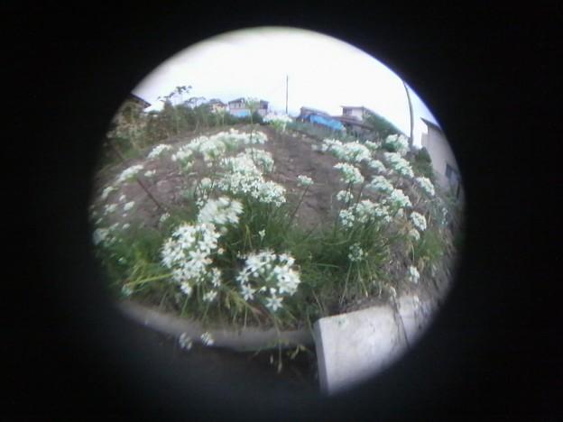 写真: 魚眼~ニラの花~