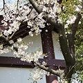 Photos: 稲毛神社の桜6