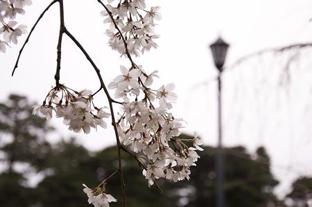 2011-04-02_京都御所_桜16