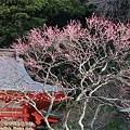 紅梅(荏柄天神社)