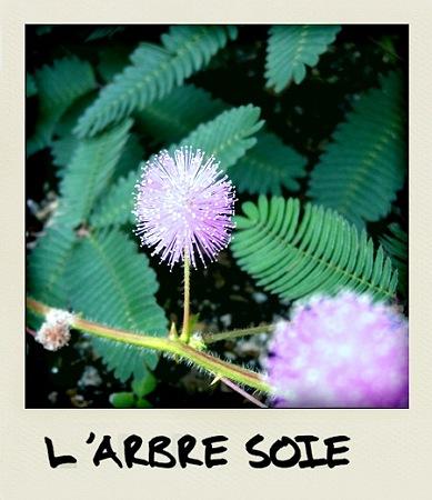 La fleur de l'arbre de soie