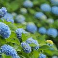 Photos: 卯辰山の紫陽花