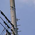写真: 電柱に一人みっけ!