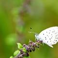 写真: しじみ蝶
