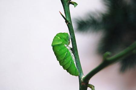 2011年09月10日_DSC_1156ナミアゲハの前蛹