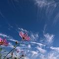 秋桜と秋空