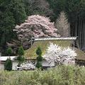 わら葺き屋根と桜
