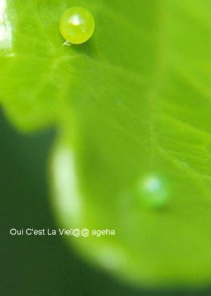 ガガたまご。クチナシの新芽にはオオスカシバの卵。