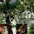 キザクラで 黄桜咲いて カッパッパ