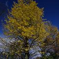 黄金の大木