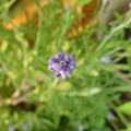 Photos: English Lavender