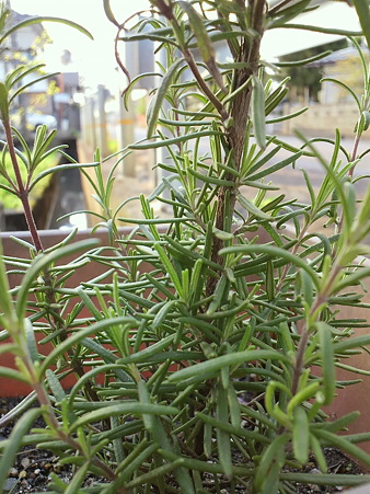 "Rosemary""Deep Blue"""