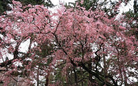 京都御苑110403_27
