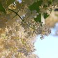 Japanese Tree Lilac 6-20-12