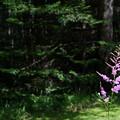 Purple Astilbe 6-30-12