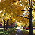 Sidewalk with Yellow Maples