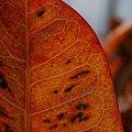Orange Colored Leaf