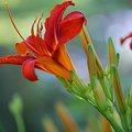Daylily_Red and Orange