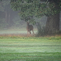 A Buck under the Oak