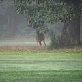 A Buck under the Oak