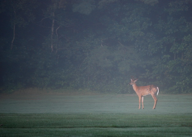 写真: A Young Buck on the Fairway