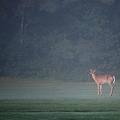写真: A Young Buck on the Fairway