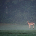 Photos: A Young Buck on the Fairway
