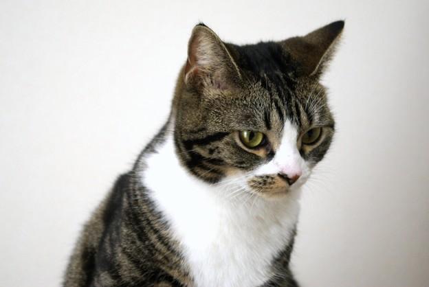 フォールド 耳 スコティッシュ 立ち 【獣医師監修】立ち耳のスコティッシュフォールドは病気になりにくいって本当?