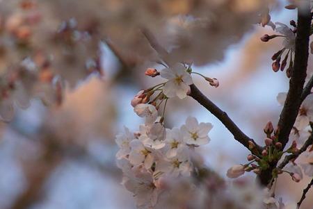 朝陽をあびる桜・その5