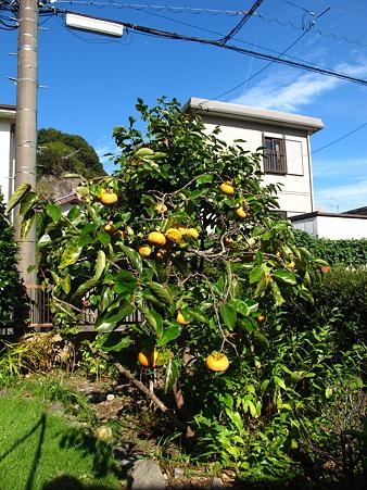 我が家の庭の小さな柿の木