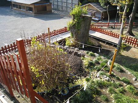 101206-八幡さま銀杏 (4)
