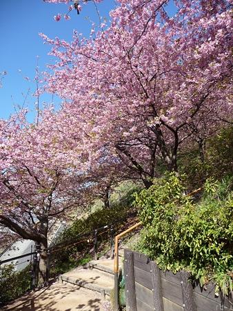 110305-松田山 河津桜 (13)