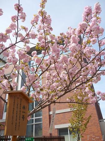 110417-造幣局 桜の通り抜け (89)