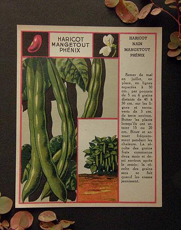 インゲン豆の種1920年