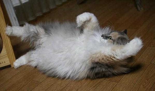 猫の横ガッツポーズ