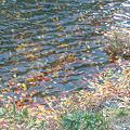 写真: 川底の落ち葉