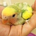 写真: 小桜インコのタイガーチェリ...