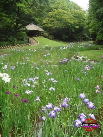 花菖蒲と東屋